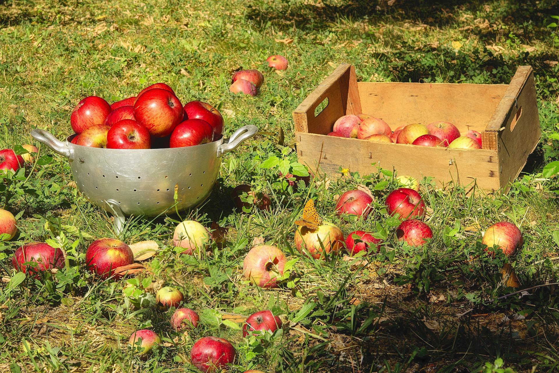 jabłka do wyciśnięcia w koszach po zbiorach